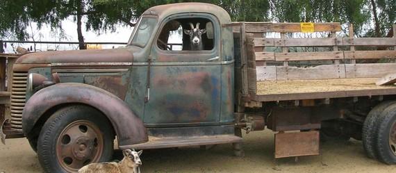 goat-in-truck.jpg